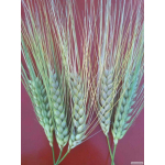 Логотип Канадские семена