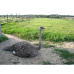 Логотип Синявська страусина ферма
