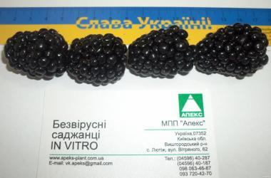 Саджанці in vitro ожини