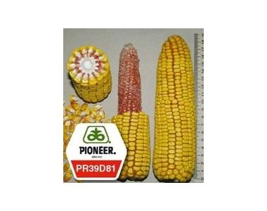 Кукурудза Pioneer ПР39Д81 / PR39D81 ФАО 260