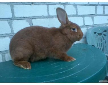 племінні кролики