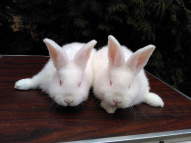 Кролики породи Новозеландський білий