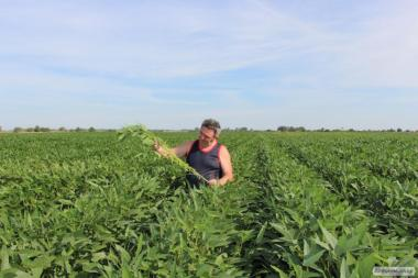 Семена сои Троица новый сорт первый год розмножения 50ц/га