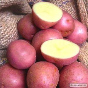 Продам картоплю посадкову і кухонна