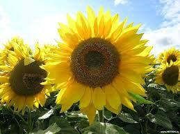 НЕО (108-110 дней) высокоурожайный, засухоустойчивый гибрид под гранстар, фр.стандарт (m1000=51-64г)
