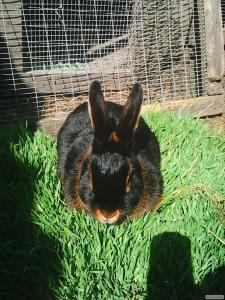Продам домашніх кролів породи чорно вогненні