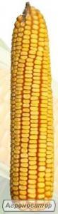 Насіння кукурудзи Солонянський 298 СВ