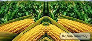 Насіння кукурудзи Гран 6 (ВНІС)