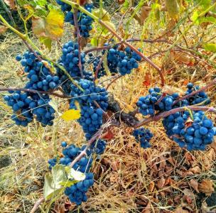 Домашнее вино Бессарабия