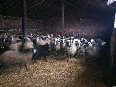 Продам овцы