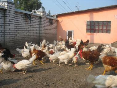 Продам цыплят подрощеных от несучки Ломан Вайт