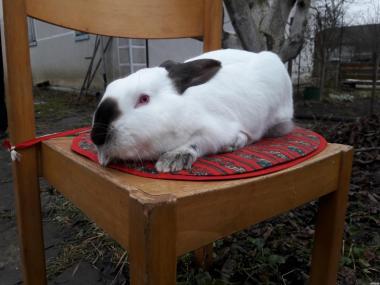 Продам кроликов породы Хиплус и Калифорния, Белый паннон