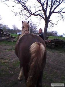 Лошадь торийской