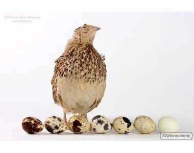 Перепела, инкубационные яйца