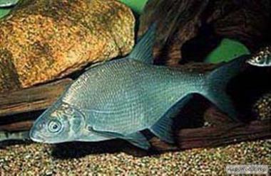 річкова риба свіжоморожена, свіжа оптом