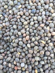 Продам семена Вики Озимой