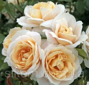 Роза кремово-розовая поліантова Avenue Lions