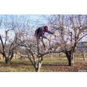 Обрезка деревьев: обрезка яблонь, обрезка деревьев  в Днепропетровске