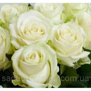 Чайно-Гібридна троянда сорту Аваланж
