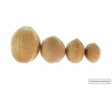Калибруем Грецкий орех