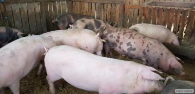 Свині на м'ясо Дюрок + П'єтрен / 10 голів