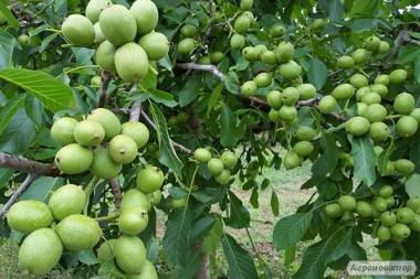 Саджанці грецького горіха Іван Багряний