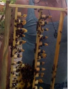 Продам плідні бджолині Матки Української степової породи, бджолопакети