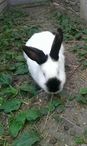 Продам кроликов Калифорнийской породы.