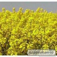Семена озимого рапса Monsanto гибрид ДК Екстрон