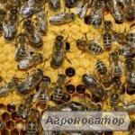 Продам пчелиные семьи