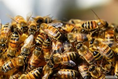 Пчелосемьи породы Бакфаст