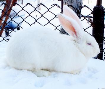 """Продам кролика породы """"Белый великан"""""""