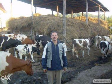 Продаем дойных коров 3-5 голов.