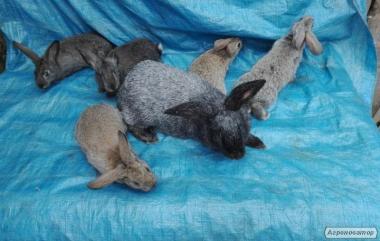 продам кроленят