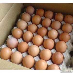 Продам яйце інкубаційне мясояєчної породи - Фоксі Чик