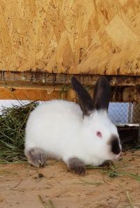 продам кроликів каліфорнійської породи