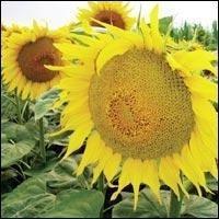 Український Ф1 гібрид соняшнику (extra)