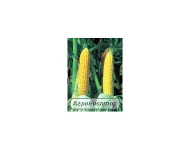 Семена кукурузы Сингента