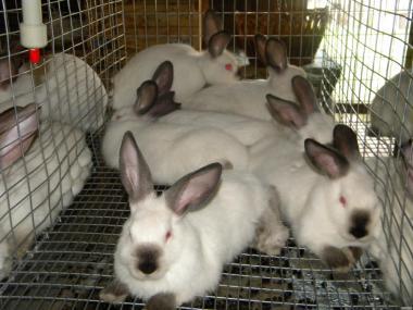 Молодые кролики породы : Калифорнийская