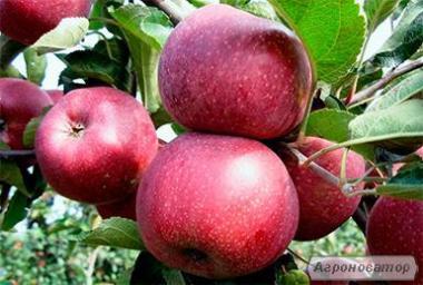 Саженцы яблони сорта Флорина, от производителя