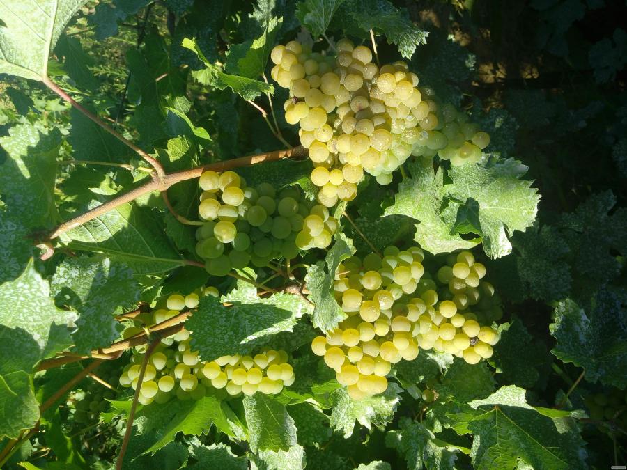 Виноград сортовой элитный (технический) (винный) белый 1-1.5т