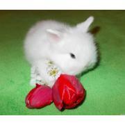 Продаються карликові кролики