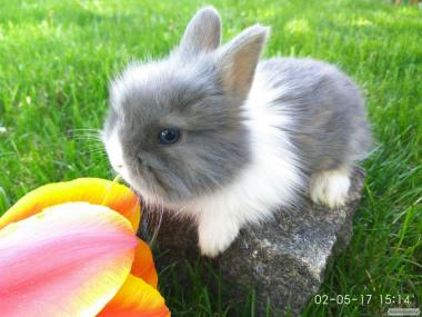 Продаются карликовые кролики