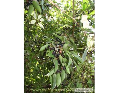 Чилийская княженка, Aristotelia chilensis