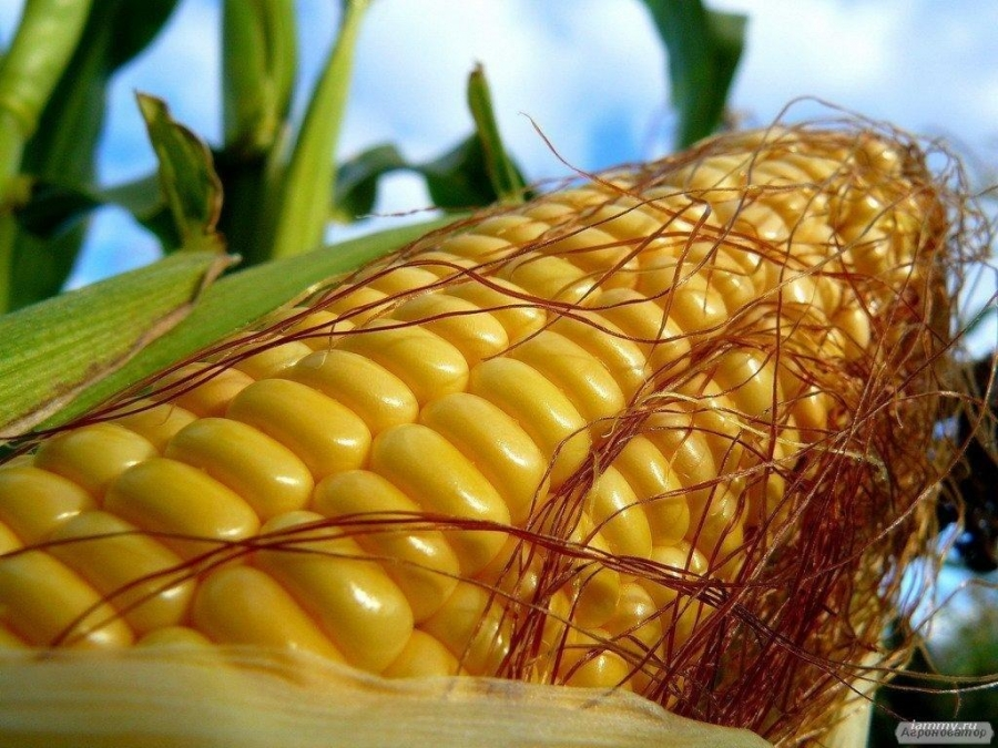 ВН 63 новый гибрид кукурузы