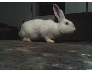 Продам кроликів породи Термонці (бройлери)