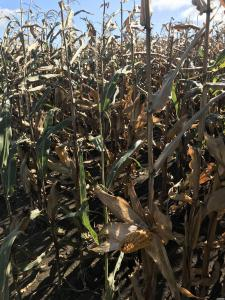 Семена кукурузы Амарок ФАО 290 320 напрямую от производителя