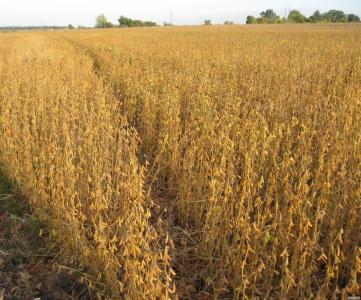 Посевной материал высокоурожайного сорта сои
