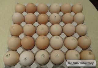 Яйця інкубаційні курей бройлерів КОББ-500 ( COBB-500 ) Україна