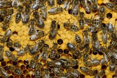 Продам бджолопакети. Ціна 900 грн.